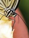 Paper kite butterfly,Idea leuconoe Royalty Free Stock Photo