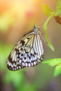 Paper kite butterfly (tree nymph)  resting on a green leaf Royalty Free Stock Photo