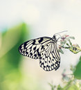 Paper Kite, Rice Paper, or Large Tree Nymph butterfly (Idea leuc Royalty Free Stock Photo