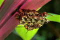 Paper waps on larvae cells wasps social wasps scientific name is polistes spp hymenoptera nested garden plant eggs and trivandrum Royalty Free Stock Photography