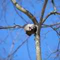 Paper wasp nest in a tree Stock Photography