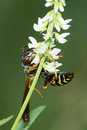 Paper wasp polistess spp in summer Royalty Free Stock Photography