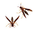 Paper wasps polistes annularis on a white background Royalty Free Stock Image