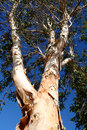 Paperbark Tree against blue sky Royalty Free Stock Photos