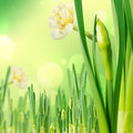 Paperwhite daffodils spring card with delicate flowers Royalty Free Stock Photo