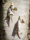 Papery Birch Bark Royalty Free Stock Photo