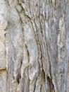 Papery tree bark Royalty Free Stock Photo