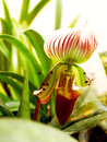 Paphiopedilum callosum the orchid flower with dorsal sepal and petals are white with purple and green stripes the petals have Royalty Free Stock Image