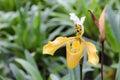 Paphiopedilum gratrixianum, Lady`s Slipper orchid