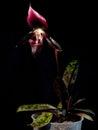 Paphiopedilum Maudiae Vinicolor Schwarze Madonna Royalty Free Stock Photo
