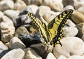 Papilio butterfly buterfly on the beach Royalty Free Stock Photo