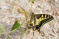 Papilio butterfly in the riverbed Royalty Free Stock Image