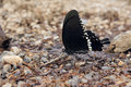 Papilio the close up of a butterfly scientific name polytes Stock Photography
