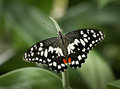Papilio demoleus Royalty Free Stock Photo