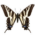 Papilio eurymedon Royalty Free Stock Photo