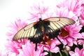 Papilio Lovii Stock Image