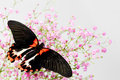 Papilio Lovii Royalty Free Stock Photos