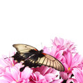 Papilio lovii on the flowers Royalty Free Stock Photography