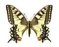 Papilio machaon Stock Photography