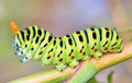 Papilio machaon details of caterpillar Royalty Free Stock Photos