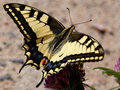 Papilio Machaon, Swallowtail Butterfly Royalty Free Stock Photo
