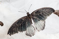 Papilio memnon the great mormon is a large butterfly that belongs to the swallowtail family Stock Images