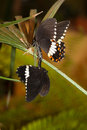 Papilio polytes, Common Mormon Royalty Free Stock Images