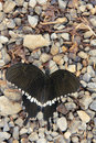 Papilio polytes the frontways close up of Stock Photo