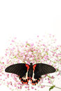 Papilio rumanzovia on the flowers Royalty Free Stock Images