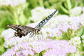Papilio xuthus the close up of on pink sedum flowers Stock Image