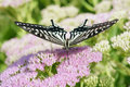 Papilio xuthus the frontal close up of on pink flowers Royalty Free Stock Image