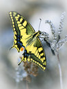 Papilio zelicaon Royalty Free Stock Images