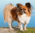 Papillion dog Stock Image
