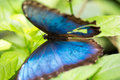 Papillon bleu de morpho sur la feuille tropicale Photo libre de droits