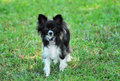 Papillon Dog Stock Photos