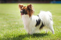 Papillon dog beauty Royalty Free Stock Photo