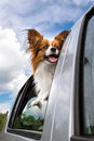 Papillon dog in car poking his head out window of a Royalty Free Stock Photo