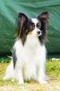 Papillon dog a small black white and red aka continental toy spaniel sitting on the grass looking very friendly and beautiful Stock Photos