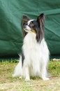 Papillon dog a small black white and red aka continental toy spaniel sitting on the grass looking very friendly and beautiful Stock Image