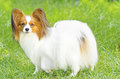 Papillon dog a small white and red aka continental toy spaniel standing on the grass looking very friendly and beautiful Stock Photos