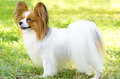 Papillon dog a small white and red aka continental toy spaniel standing on the grass looking very friendly and beautiful Royalty Free Stock Images