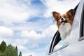 Papillon dog traveling in car poking his head out window of a Royalty Free Stock Image