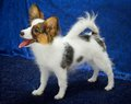 Papillon Puppy Royalty Free Stock Images