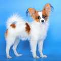Papillon puppy 5 months old stands on blue Stock Photo