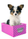 Papillon puppy in a box Royalty Free Stock Photo
