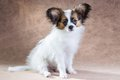 Papillon puppy portrait of a cute little Royalty Free Stock Images