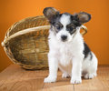Papillon Puppy sitting near wicker basket Stock Photo
