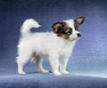Papillon puppy studio portrait of a small Stock Photography