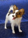 Papillon puppy young dog of breed on a blue background Royalty Free Stock Images