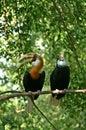 Papuan 或blyth的 犀鸟 库存照片